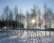 Silver-Birch-Winter (Large)